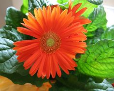 Gerber daisy (Gerbera jamesonii) This bright, flowering plant is effective at removing trichloroethylene, which you may bring home with your. Gerbera Jamesonii, Air Cleaning Plants, Air Plants, Dry Cleaning, Potted Plants, Flowering Plants, Margaritas Gerbera, Best Indoor Plants, Gerber Daisies