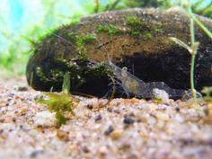 12 animais transparentes que vão deixar você boquiaberto 559 Ghost Shrimp  Glass Shrimp - camarao fantasma