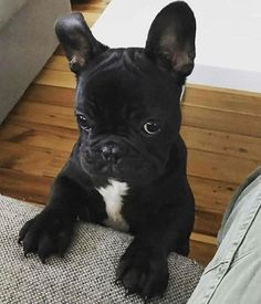 Looks like someone pretended to throw the ball, but didn't, and this little one didn't fall for it. Cute French Bulldog, French Bulldog Puppies, Frenchie Puppies, Cute Puppies, Cute Dogs, Dogs And Puppies, Baby Animals, Animals And Pets, Funny Animals