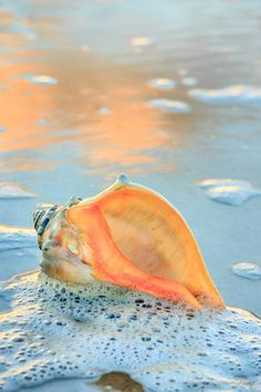 Whelk shell in the seafoam, Hatteras Island. Pictures of the Outer Banks by Dan Waters