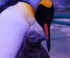 SEA LIFE Paris annonce la naissance de son premier bébé manchot Royal