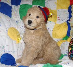 """Australian Labradoodle """"Emmitt""""  from Olympic Labradoodles.  The hat was from my favorite hat shop in Leavenworth http://www.hatshopwoodshop.com/ You can see all his sisters too at http://olympicdoodles.livejournal.com/290080.html"""