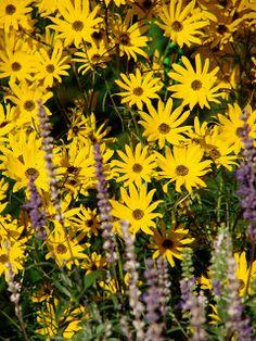 [human]nature: Flora of the Week--Helianthus Angustifolius sunflower, BW resistant Black Walnut Tree, Human Nature, Flora, Plants, Plant, Planets