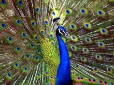 PEACOCK Keynote: Resurrection and Wise Vision (Watchfulness) Cycle of Power: Spring and Autumn Probably the peacock's two most outstanding f...