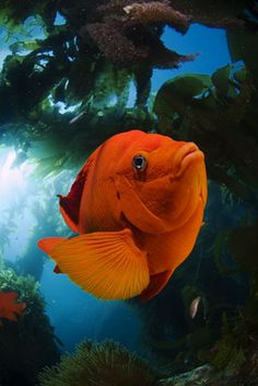 in Southern California, the marine state fish, the Garibaldi, is a frequent subject for underwater photographers due to their fearlessness and bright orange contrasting color. Underwater Creatures, Underwater Life, Ocean Creatures, Beneath The Sea, Under The Sea, Colorful Fish, Tropical Fish, Beautiful Sea Creatures, Salt Water Fish