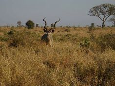 Kudu bull at crocodile bridge thank you Africa: Live App User Erika Byleveldt for your great photos... Wow look at those horns