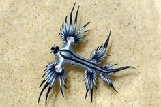 The Blue Dragon Glaucus atlanticus is a species of small-sized blue sea slug, a pelagic aeolid nudibranch, a marine gastropod mollusk in the family Glaucidae Weird Creatures, All Gods Creatures, Sea Creatures, Underwater Creatures, Underwater Life, Blue Sea Slug, Glaucus Atlanticus, Marine Aquarium, Blue Dragon