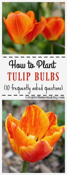 die besten 25 tulpenbirnen pflanzen ideen auf pinterest tulpenzwiebeln tulpen garten und. Black Bedroom Furniture Sets. Home Design Ideas