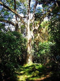 st kitts rainforest