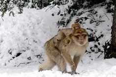 Un macaque berbère balade son petit sur son dos près de la ville marocaine d'Azrou.