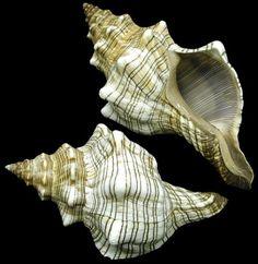 Deltona Seashells & Gifts - FOX CONCH SHELL (STRIPED FOX) (LARGE) (EA)