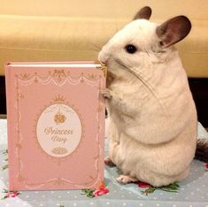 BuBu's princess diary is one of her most prized possessions. | This Is The Most Important Chinchilla On Instagram Right Now