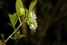 Flor de Pitanga | por valtencirmoraes