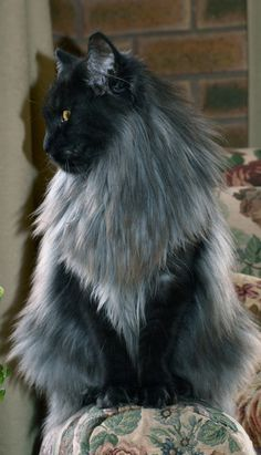 shaded smoke maine coon cat