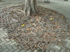 This tree's roots have adapted to the pavement getting this strange and awsome shape. Link in Spanish