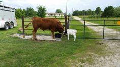 Bull allowing bottle calf to share dinner.