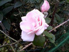 La rosa bianca sfumata di rosa della mia infanzia.