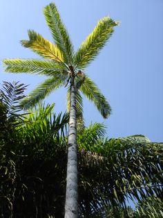 Palmeira que tem o caule com espinhos