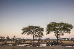 #elephants surround a Chobe National Park watering hole in #botswana
