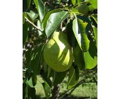 Summercrisp pears recommended for Iowa.  Plant in sheltered nothern spot.