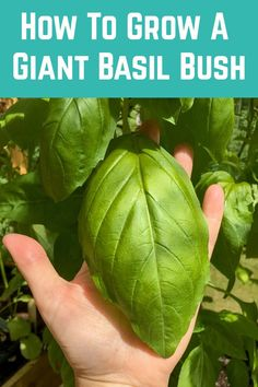 How To Grow A Giant Basil Bush: A Pro Gardener Reveals Their Secret - - The best way to ensure that a plant grows to its maximum potential is to give it what it needs. In the case of basil, it is a lot of warmth, plenty of bright sunlight and. Vegetable Garden For Beginners, Gardening For Beginners, Gardening Tips, Planting Vegetables, Growing Vegetables, Vegetable Gardening, Veggies, Basil Plant, Colorful Garden