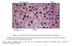 4) Mitose