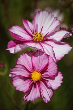 ✿ Painted Cosmos