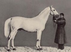 Strelets stallion Bivuak (1859). Strelets, known as Strelets Arabian was a horse type developed in Strelets stud, Ukraine, in 19th century. It was a cross between Arabians and other breeds, like Anglo-Arabians and Orlov trotters. It looked like an Arabian but was bigger and heavier. WWI, revolution and all other unrest in Russia caused Strelets's almost disappear and in 20's the last ones were gathered in Tersk stud to be mated with Arabians and other Russian breeds. Thus was Tersk horse…