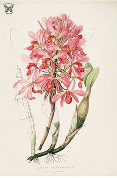Gorgeous Laelia. Laelia superbiens. The Orchidaceae of Mexico and Guatemala (1837-1843) [Sarah Ann Drake]