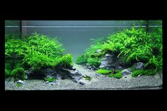 "AOL Image Search result for ""http://www.planted-aquarium.de/tl_files/gallery_creator_albums/the-art-of-the-planted-aquarium-die-kunst-d/XL06.jpg"""