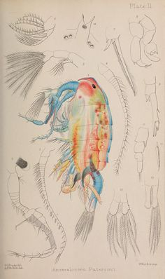 A monograph of the free and semi-parasitic Copepoda of the British islands.. London,Ray Society,1878-80.. biodiversitylibrary.org/page/38950579