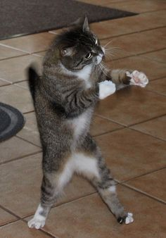 Miisa the Boxer....., Let's Go ! .... I'm ready !  #funny cat kitty boxing aww omg adorable