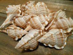 Seashells - 10 Snipes Bill Murex - Seashell Supply - craft seashells, Beach Wedding via Etsy