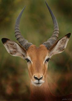 Ears And Eyes On You ~ Impala Buck by Joseph G Holland