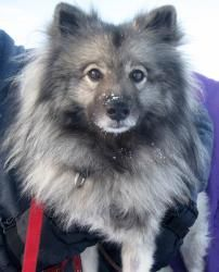 Keesha is an adoptable Keeshond Dog in Syracuse, NY. This girl is beautiful both inside and out!  Our six year old friend Keesha is so funny!  Happy, happier and happiest describes our friend Keesha! ...