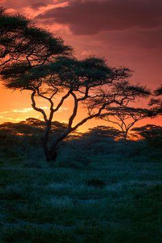 Acacia Tree~ The Serengeti, Tanzania - Africa
