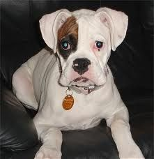 Our sweet yet challenging Maggie Mae Boxer (probably what she looked like as a pup)