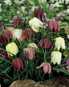 Checkered Lily, Fritillaria meleagris Unique checkered pattern in shades of white and burgundy. Beautiful Flowers Garden, Beautiful Gardens, Unique Flowers, Bulb Flowers, Purple Flowers, Happy Flowers, Planting Bulbs, Planting Flowers, Lily Bulbs