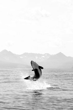 Orca whales are just the best! Look how happy he is not to be in a tank!
