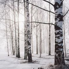 Birches in winter with snowy ground. Black and white