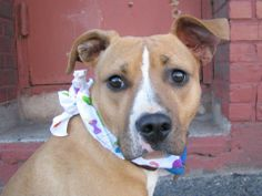 TO BE DESTROYED - 04/12/14 Brooklyn Center - P  My name is LOVELY. My Animal ID # is A0995383. I am a female tan and white pit bull mix. The shelter thinks I am about 7 MONTHS old.  **$200 DOLLARS TO ANY NEW HOPE APPROVED GROUP WHO PULLS ANY DOG FROM TONIGHT'S AT RISK LIST** https://www.facebook.com/photo.php?fbid=783320255014189&set=a.611290788883804.1073741851.152876678058553&type=3&theater