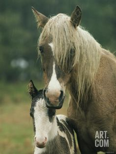 Portrait of a Wild Pony and her Foal Photographic Print by James L. Stanfield at Art.com