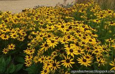Ogrodnictwo od A do Z : Rudbekia błyskotliwa 'Little Goldstar' – Rudbeckia...