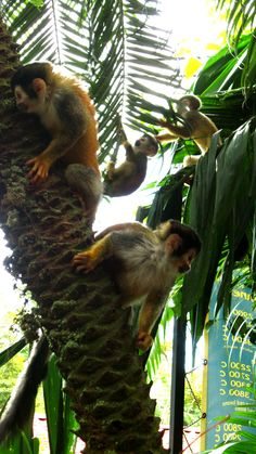 There are so many monkeys in the garden that is Costa Rica, instead of seeing coconuts in trees we will see monkeys!