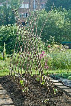 A double row of hazel poles constructed to support runner beans, early June. Diy Trellis, Garden Trellis, Bean Trellis, Farm Gardens, Outdoor Gardens, Jardin Decor, Runner Beans, Design Jardin, Vegetable Garden Design