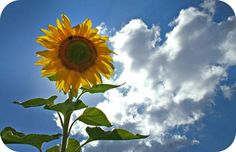 Sunflower Symbolism. Picture by David J. Crotty