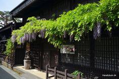 Wisteria, Takayama