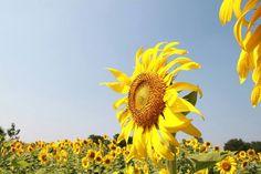 Tha-I-bun sunflower 3