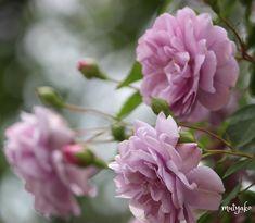 こんばんは Good evening #keiseirosegarden #myheartinshots #meiko_flora #estetikizler #eye_spy_flora #splendid_flowers #special_flower_collection #floral_shots #flower_igers #garden_styles #gizlibahcelerimiz #vizorturk_flower_macro #vizorturkiyem #ig_ard_flowers #raw_flowers_ #dogabahce #dogakadraj #flowers_energy #flowers_turkey #flowers_super_pics #flowers_and_more_flowers #flowerstalking #total_flowers #top_world_shot #thehub_flowers #top_favourite_flowers #kings_hdr #写真を撮るのが好きな人と繋がりたい