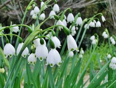 Snow Drops Flowers, Seasonal Flowers, Lily Of The Valley, Garden, Plants, Prince, King, Future, Ideas